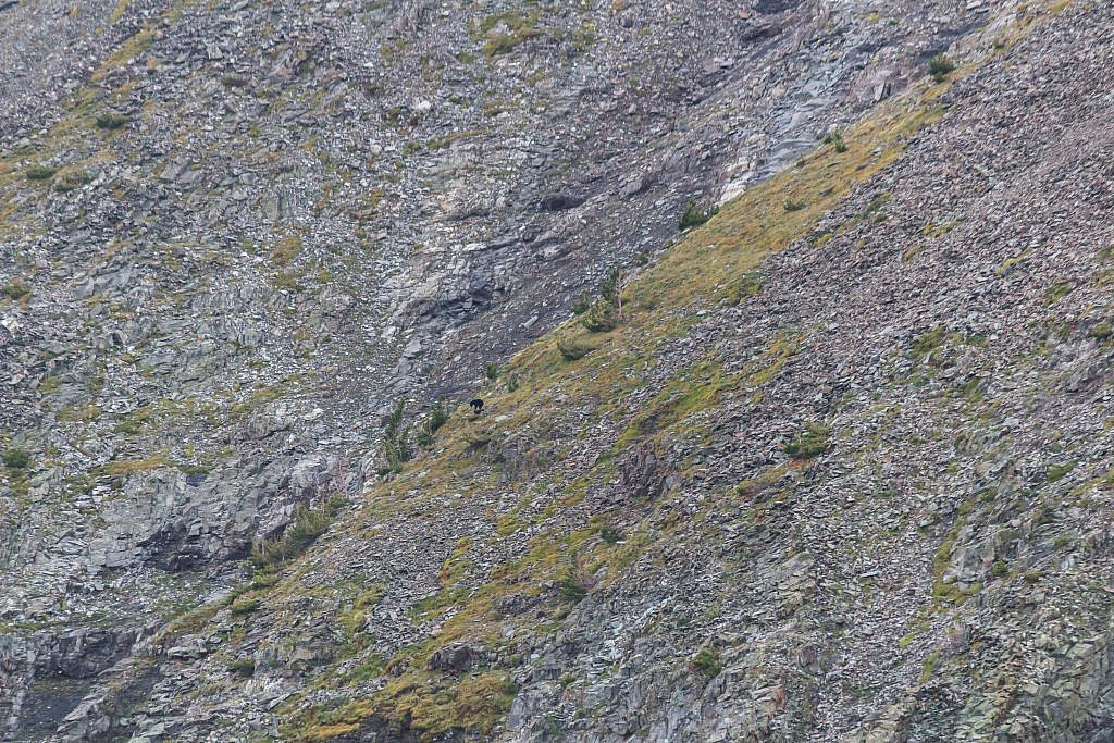 Didn't see any more goats but we spotted a baby black bear scrambling around on the ridge.