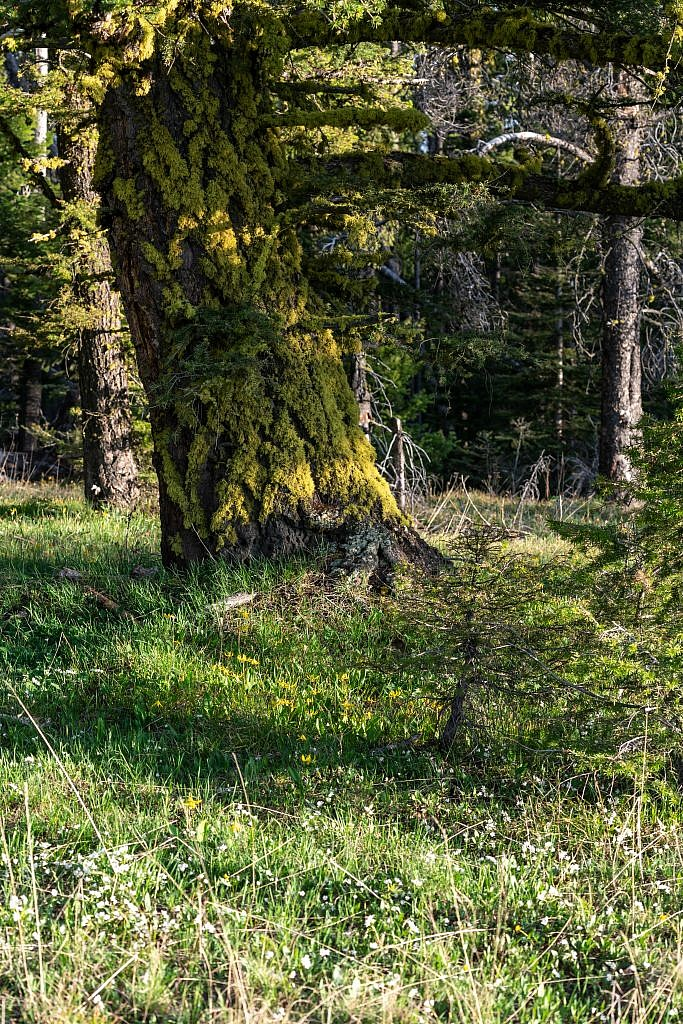 My campsite was surrounded by glacier lilies and these mossy trees which lit up beautifully just before sunset.