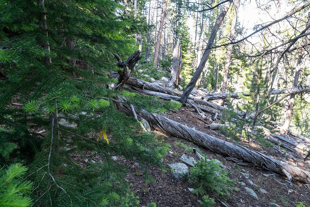The sidehilling section is just a mess of deadfall and undergrowth with virtually no indication of an established route. I did encounter some yellow tape on this tree. What good this was I cannot say.
